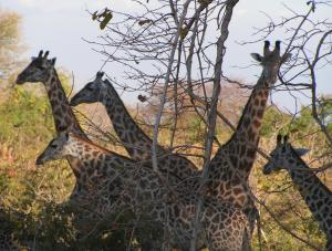 Thornicroft's giraffe, unique to the Luangwa Valley