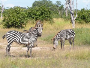 A variety of zebra found only in a few places such as the Luangwa Valley of Zambia and Malawi