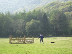 Now that's a nice pastime - sheep dog trials in Wales