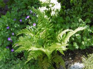 ferns geraniums aquilegia