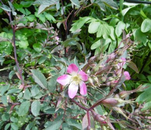 Shy Rosa Glauca not quite at home yet