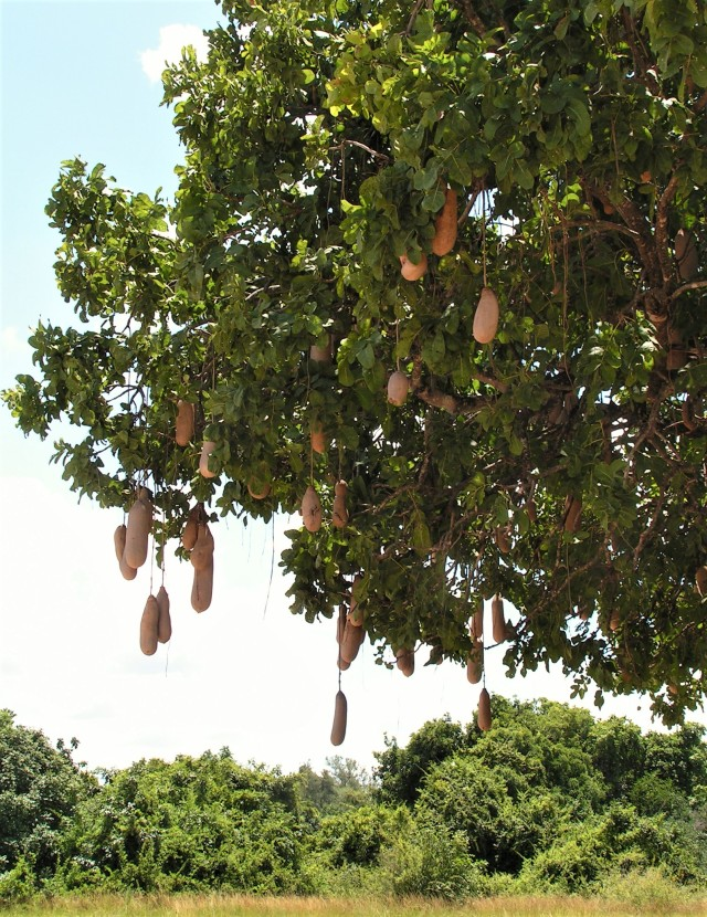 Sausage tree in the Luangwa Valley Zambia at the end of the rainy season